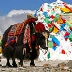 Bhutan Yak