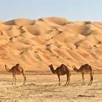 Dubai Abu Dhabi Camels