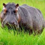 iStock_000020807662_Medium Hippo at Chobe River Bots (2)