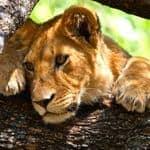 Lioness-in-Tanzania
